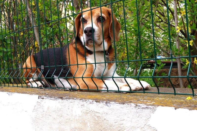 Väntande beagle royaltyfri fotografi