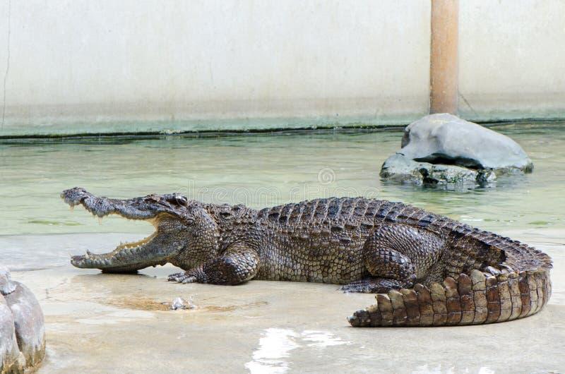 Väntande mat för krokodil i lantgård arkivfoton