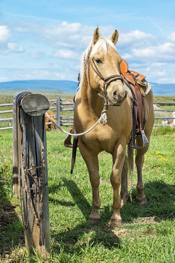 Väntande på cowboy för ursnygg Palominohäst som går tillbaka royaltyfri foto