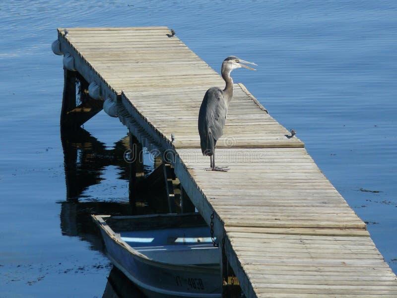 Väntande på fisk för häger royaltyfri bild