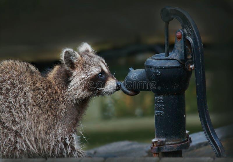 Väntande på hjälp för tvättbjörn royaltyfri bild