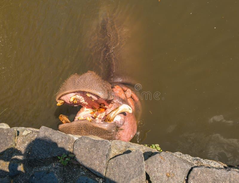 Väntande på mat för flodhäst i Yama Jigoku royaltyfria foton