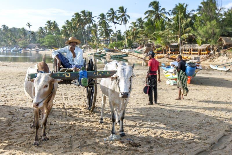 Väntningar för ett oxelag på den Arugam fjärden sätter på land i Sri Lanka royaltyfri bild
