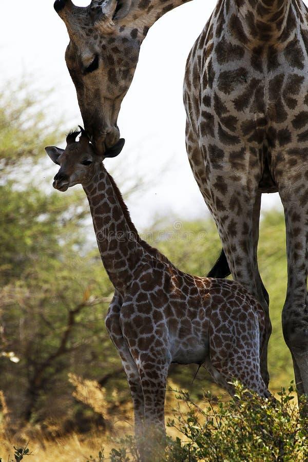 Världens behandla som ett barn mest högväxta däggdjurs- giraff som älskar hennes nytt arkivfoton