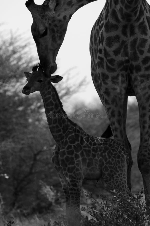 Världens behandla som ett barn mest högväxta däggdjurs- giraff som älskar hennes nytt royaltyfri bild