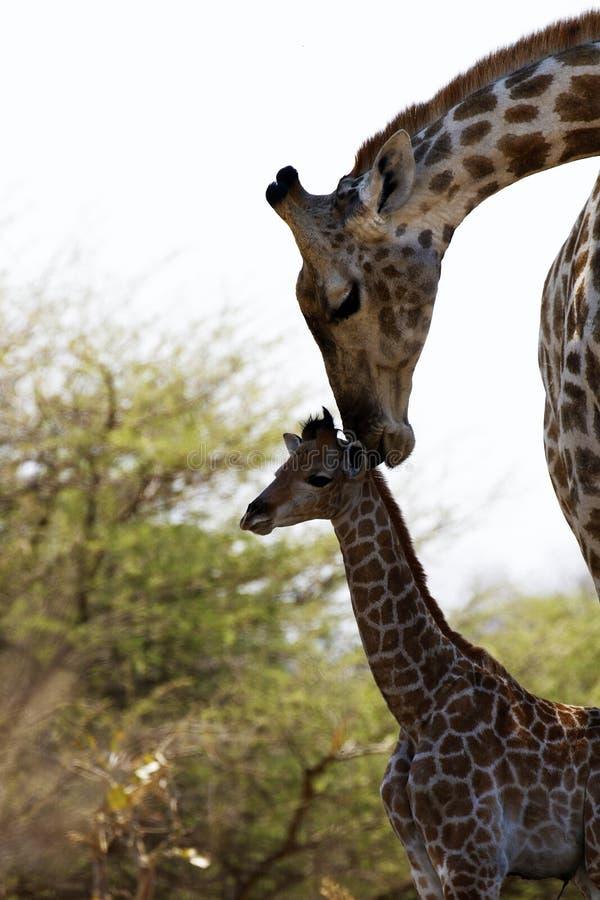 Världens behandla som ett barn mest högväxta däggdjurs- giraff som älskar hennes nytt royaltyfri foto