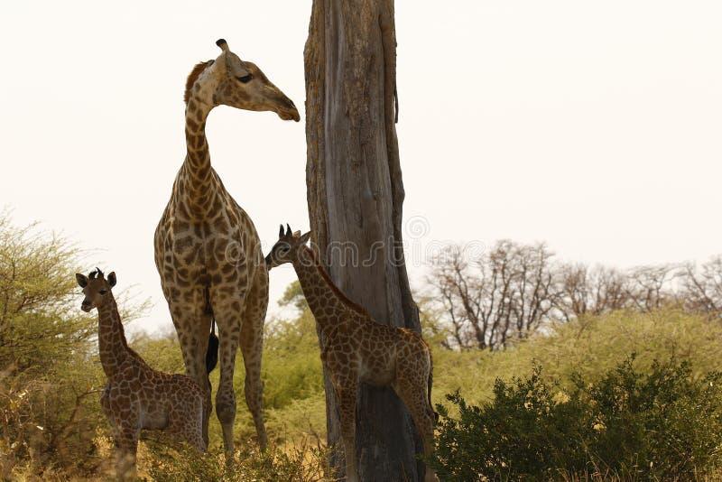 Världens behandla som ett barn mest högväxta däggdjurs- giraff som älskar hennes nytt royaltyfri fotografi