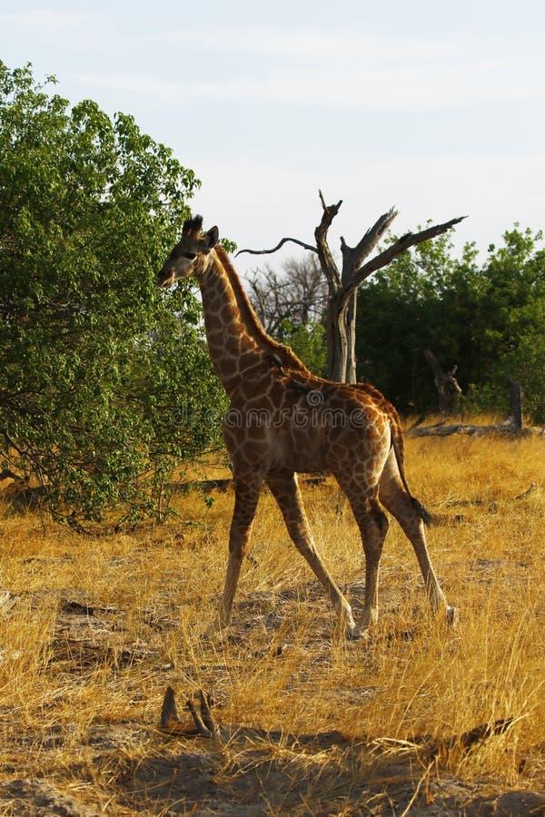 Världens mest högväxta däggdjur giraffet, en younster royaltyfri fotografi