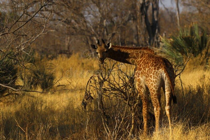 Världens mest högväxta däggdjur giraffet som tillbaka ser royaltyfri bild