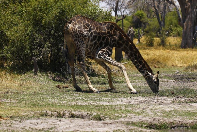 Världens mest högväxta däggdjurs- giraff royaltyfria foton