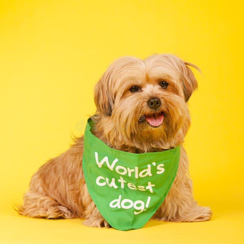 Världs mest gulliga hund arkivbilder
