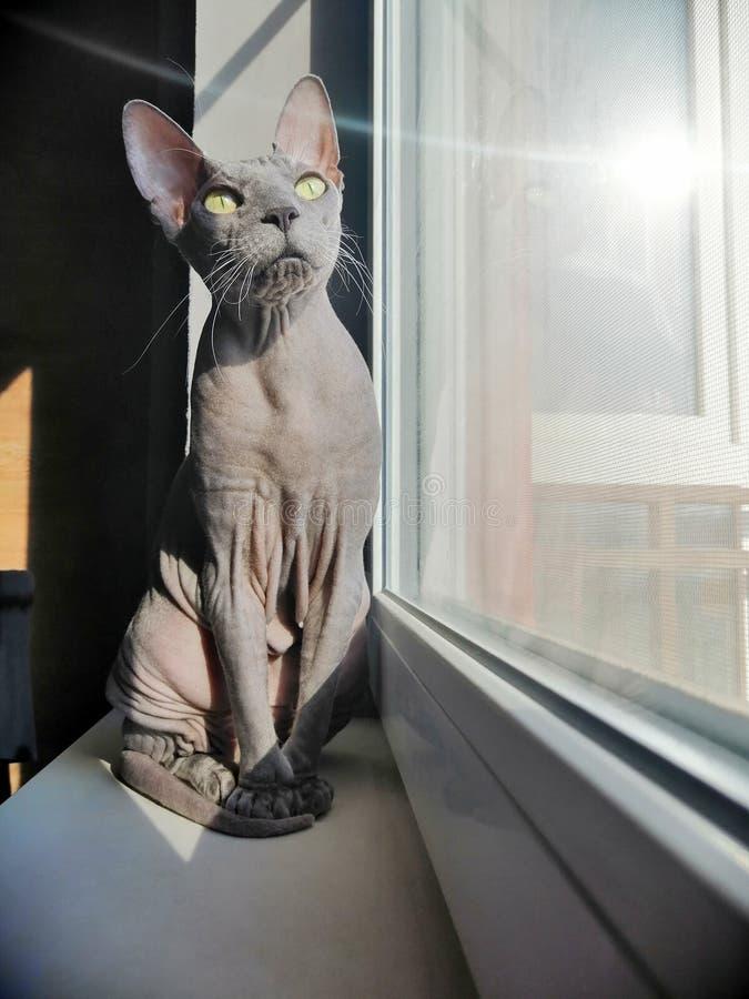 Värma sig den kanadensiska sfinxen för den skalliga katten på fönsterbrädan arkivfoto