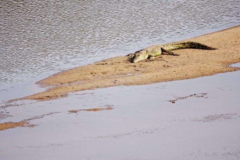 värma sig krokodil royaltyfria foton