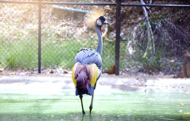 Västra - afrikansk krönad kran i zoo Thailand för härlig show arkivfoton