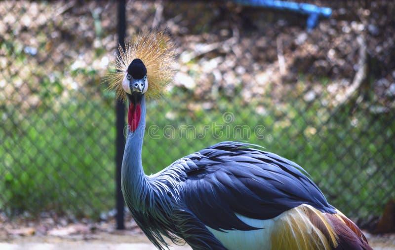 Västra - afrikansk krönad kran i zoo Thailand för härlig show royaltyfri foto