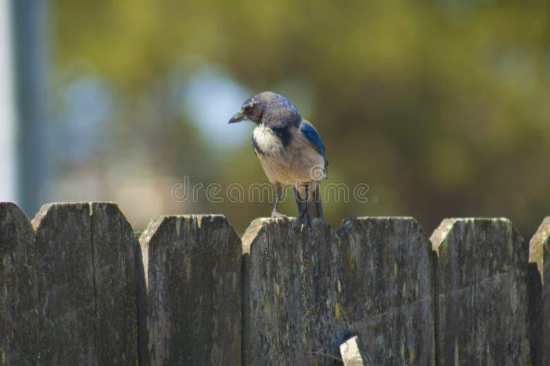 Västra blå nötskrika på det lantliga staketet för sittpinne arkivfoton