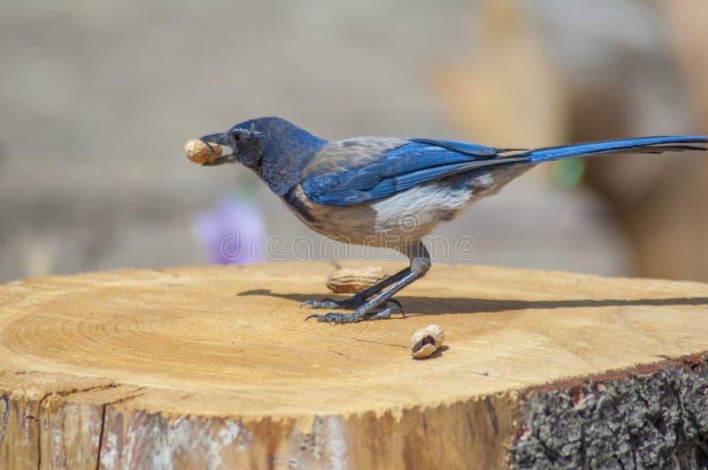 Västra blå nötskrika på trädstubbe med jordnöten i näbb royaltyfri foto