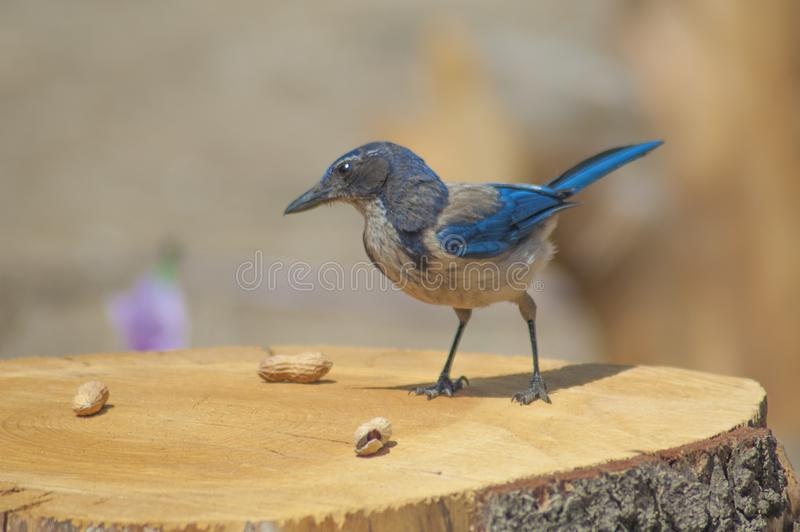 Västra blå nötskrika på trädstubbe med jordnötter royaltyfri bild