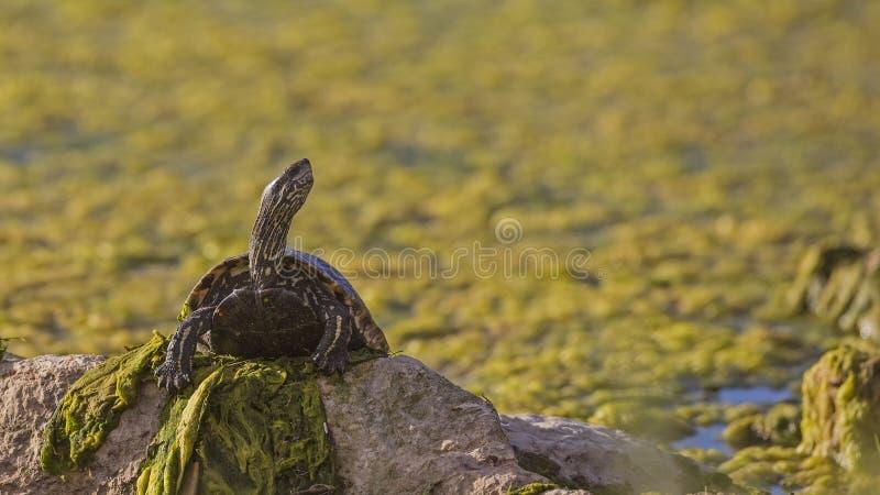 Västra Caspian sköldpadda arkivbilder