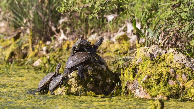 Västra Caspian sköldpaddor arkivfoton