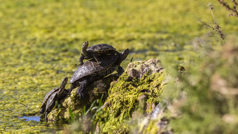 Västra Caspian sköldpaddor fotografering för bildbyråer