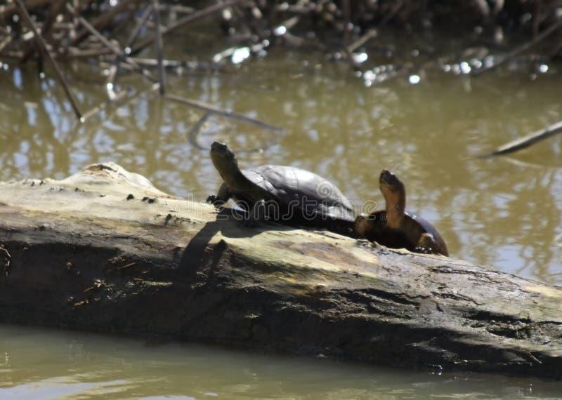 Västra dammsköldpaddor på en journal royaltyfri fotografi