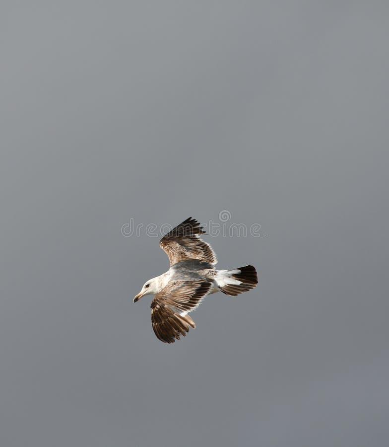 Västra fiskmås - Seagull som solo flyger mot en stormig himmel arkivbild