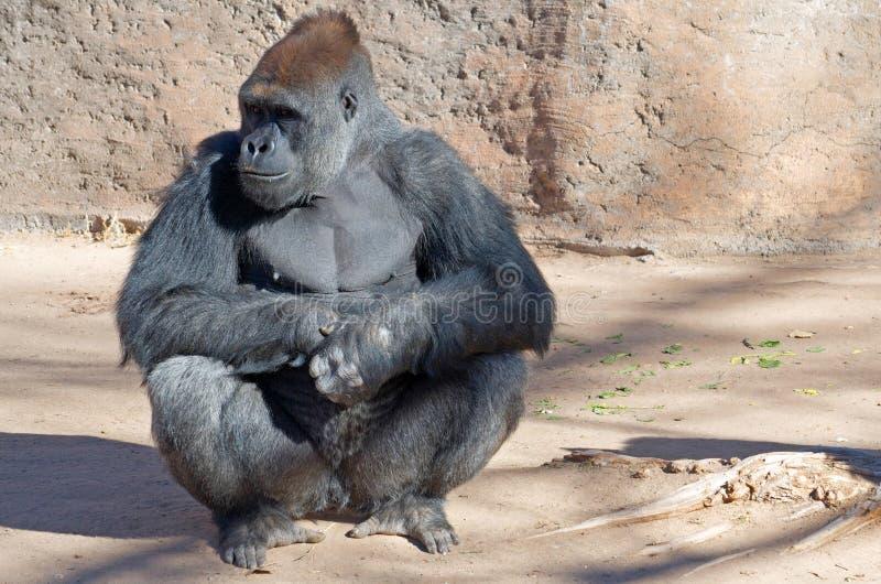 västra gorillalowland royaltyfria foton