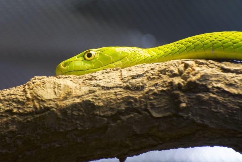 Västra grön mamba (Dendroaspisviridis) royaltyfria bilder