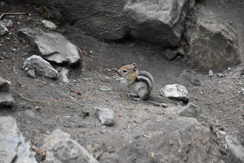 Västra jordekorre, den släkta tamiasen, Striatus, Sibiricus den lilla randiga gnagaren av familjsciuridaen, grundar i Nordamerika arkivfoton