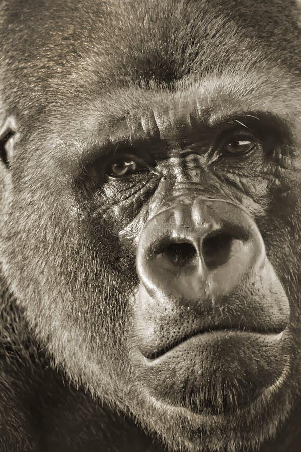 Västra låglandSilverback Gorilla Portrait Up Close arkivfoton