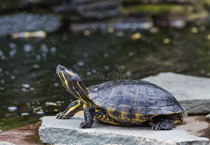 Västra målad sköldpadda (Chrysemyspictaen) fotografering för bildbyråer
