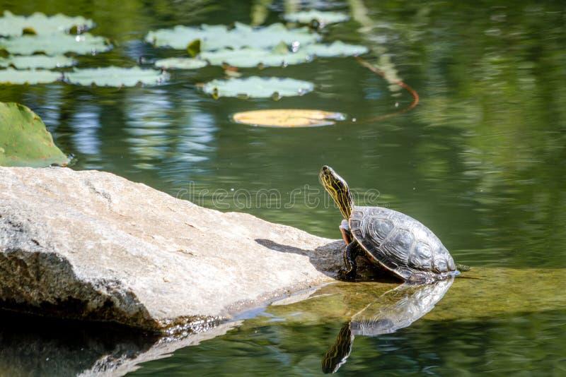 Västra målad sköldpadda i dammet fotografering för bildbyråer