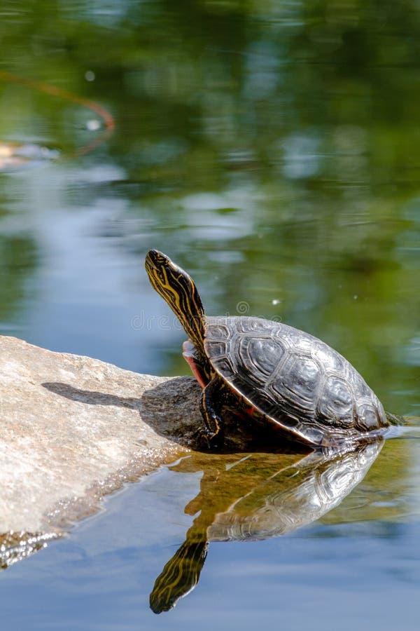 Västra målad sköldpadda i dammet royaltyfri bild
