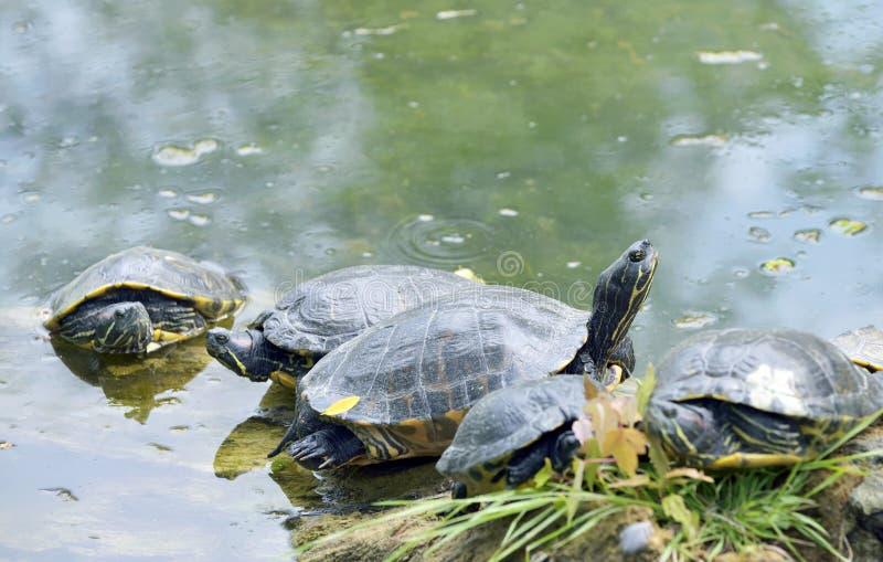 Västra målad sköldpaddachrysemyspicta arkivfoto