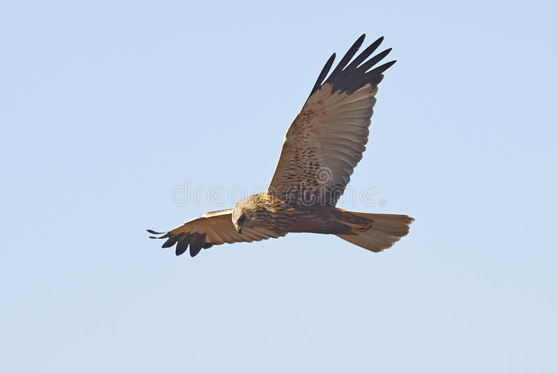 Västra Marsh Harrier (cirkusaeruginosusen) fotografering för bildbyråer