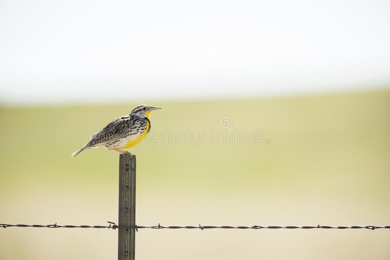 Västra Meadowlark på de nationella grässlättarna arkivfoton