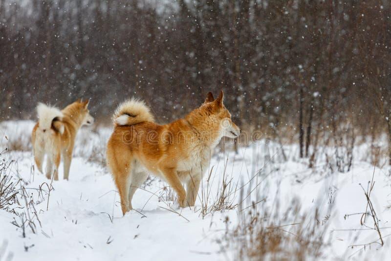 Västra Siberian Laikas fotografering för bildbyråer