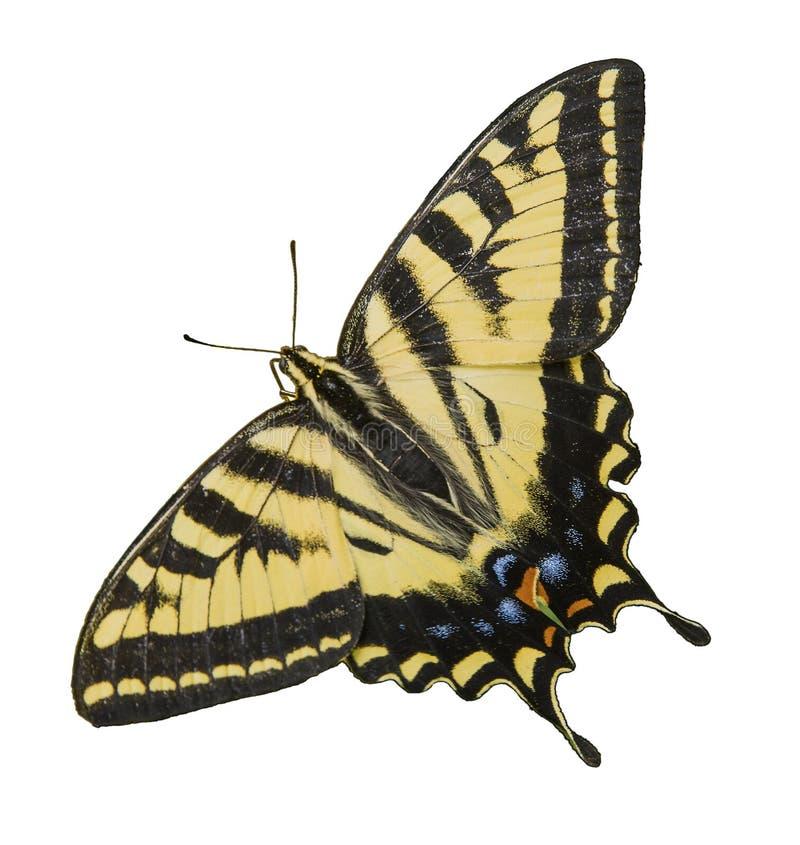 Västra Tiger Swallowtail Butterfly isolerad vit arkivbild