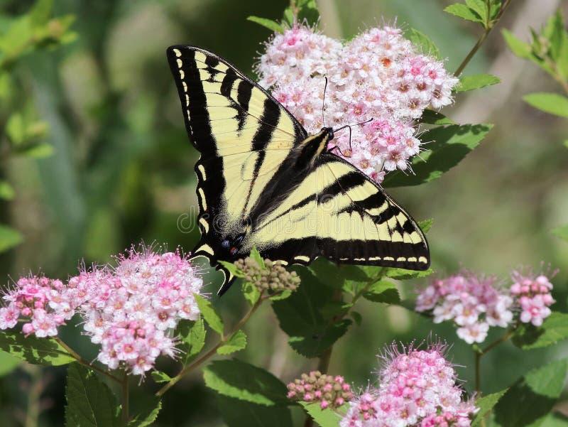 Västra Tiger Swallowtail på Spirea blommor arkivbilder