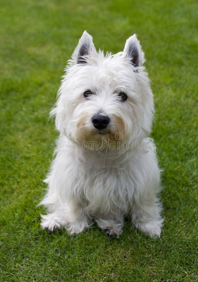 västra white för höglands- terrier arkivfoto