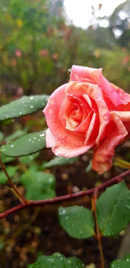 Vät rose royaltyfri foto