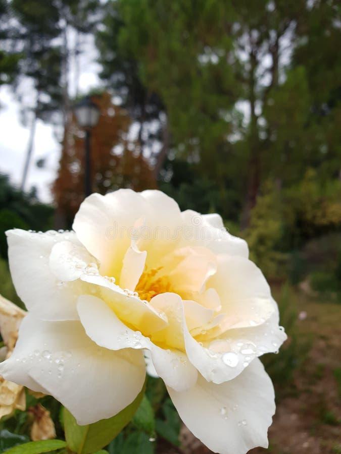 Vät rose royaltyfri fotografi
