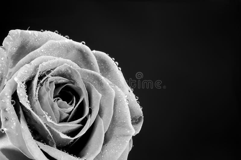 Vät rose arkivfoton