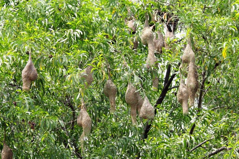 Vävarefågelreden som hänger på en tree royaltyfria foton