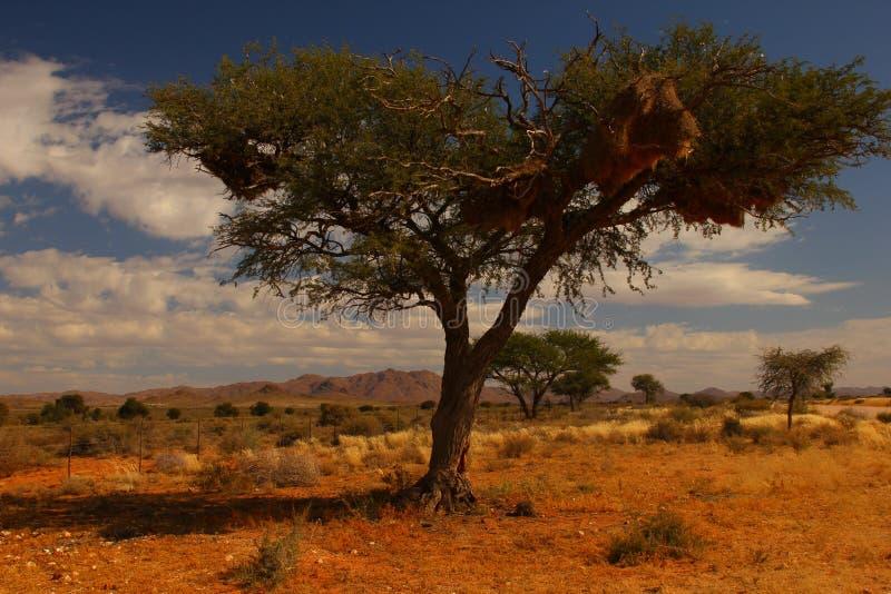 Vävareträd, Namibia royaltyfria bilder