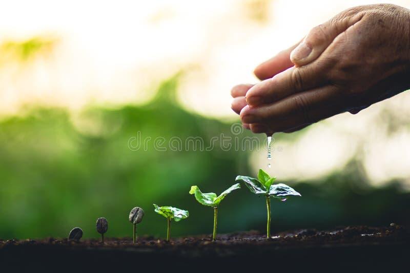 Väx omsorg för handen för trädet för kaffe för kaffebönaväxten och att bevattna trädaftonljuset i natur royaltyfria foton