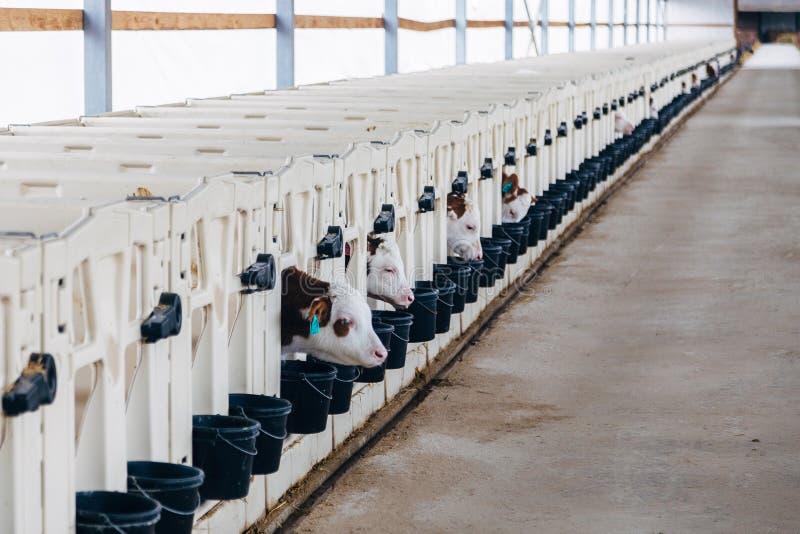 Växa av unga mejerikalvar i barnkammaren med vitkalv-hus kalv-askar i dagboklantgård arkivfoton