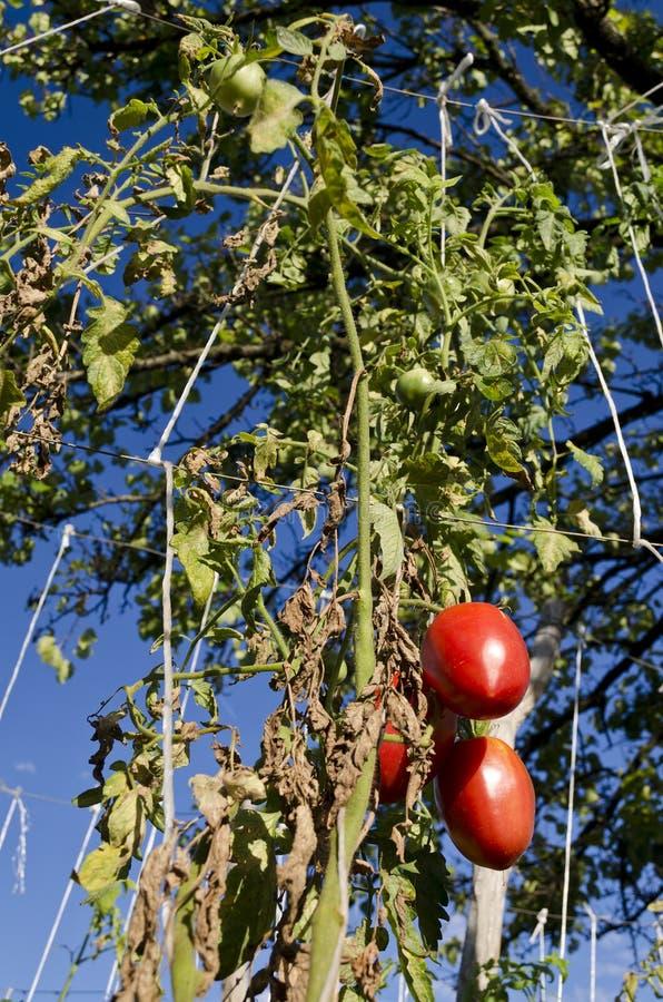 Växa dina egna bio grönsaker royaltyfria foton