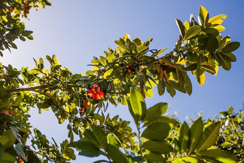 Växa för frukt för Ackee jamaikanskt royaltyfria foton
